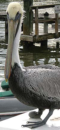 Naples Pelican with bad foot at Naples Pier